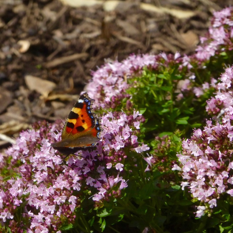 Small Tortoiseshell on oregano