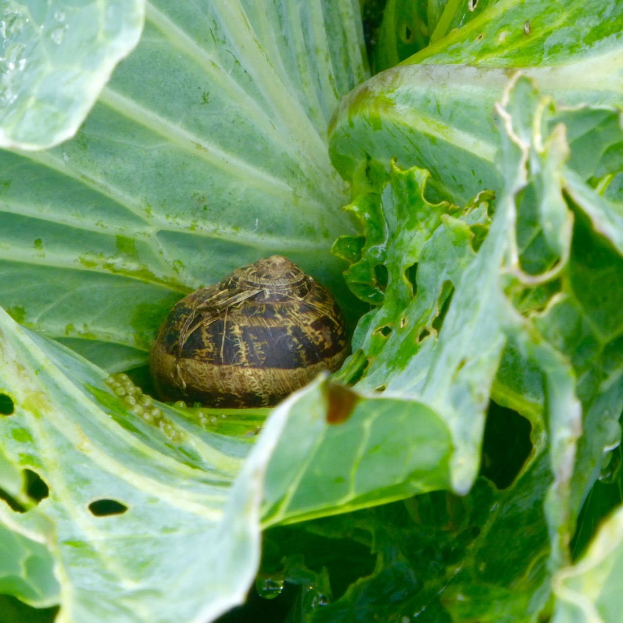 Snail on cabbage