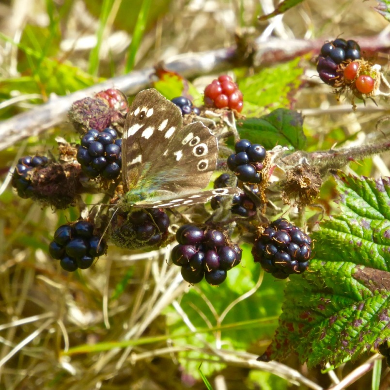 Speckled Wood Butterfly on blackberries