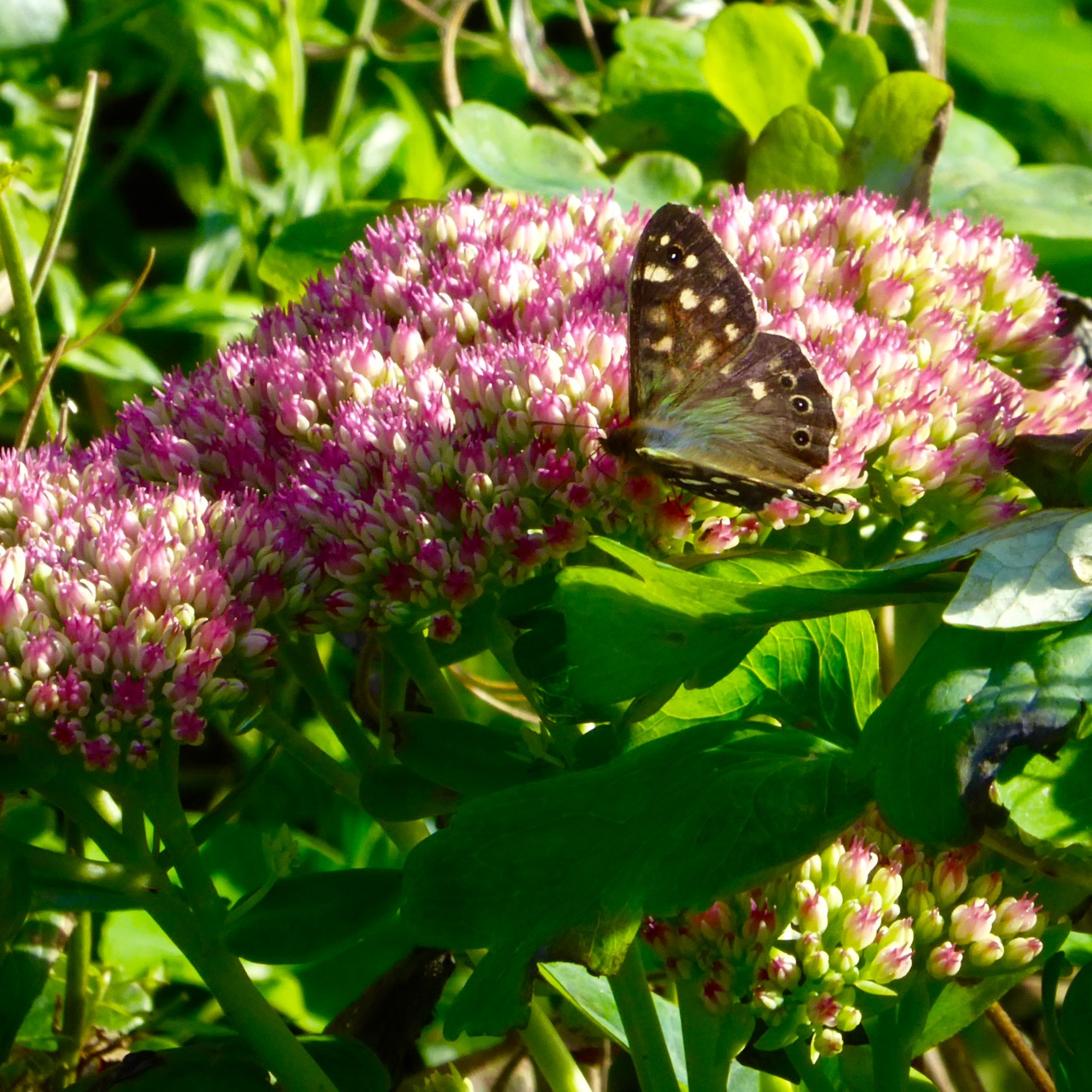 Speckled Wood Butterfly on sedum