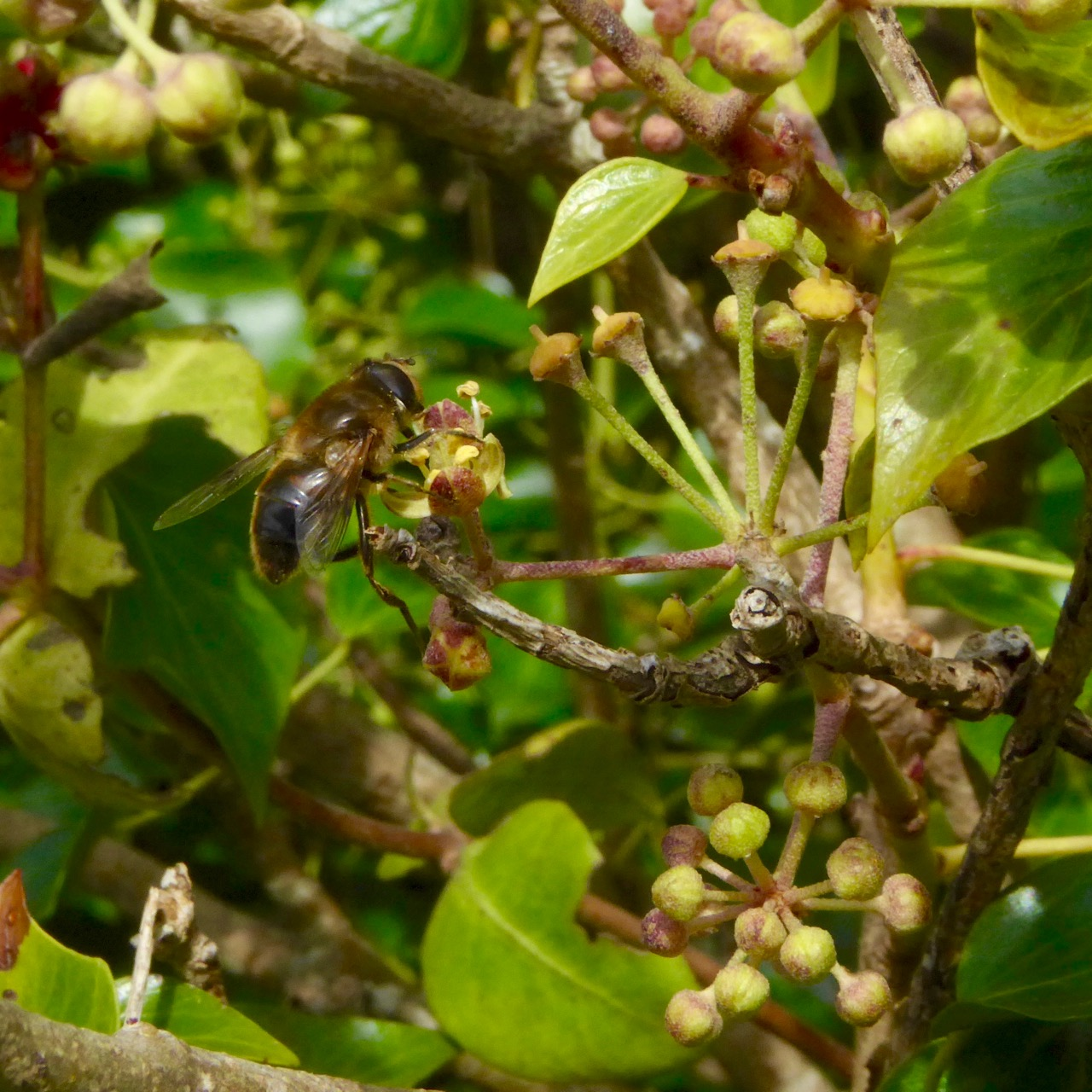 Bee on Ivy 2