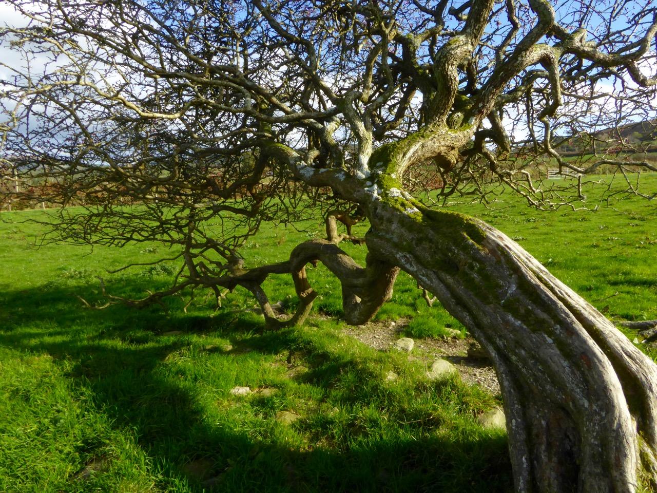 Blackthorn Tree