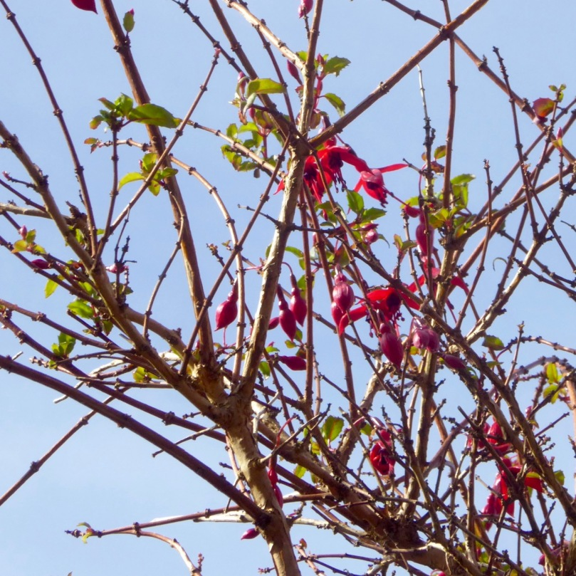 Fuchsia on bare branches