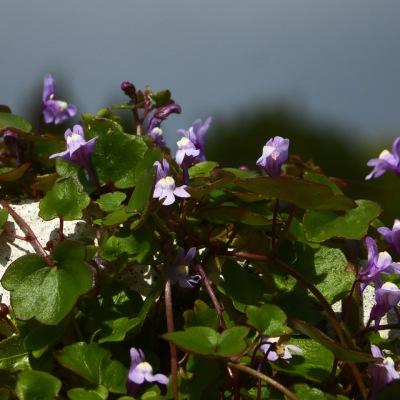 Ivy-leaved Toadflax, Cloondara