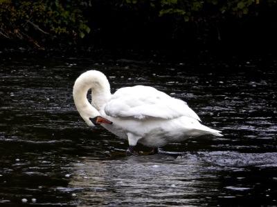 Swan, Battlebridge