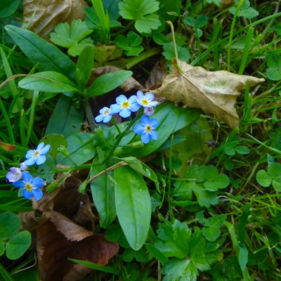 Water Forget-Me-Not, Dromsna