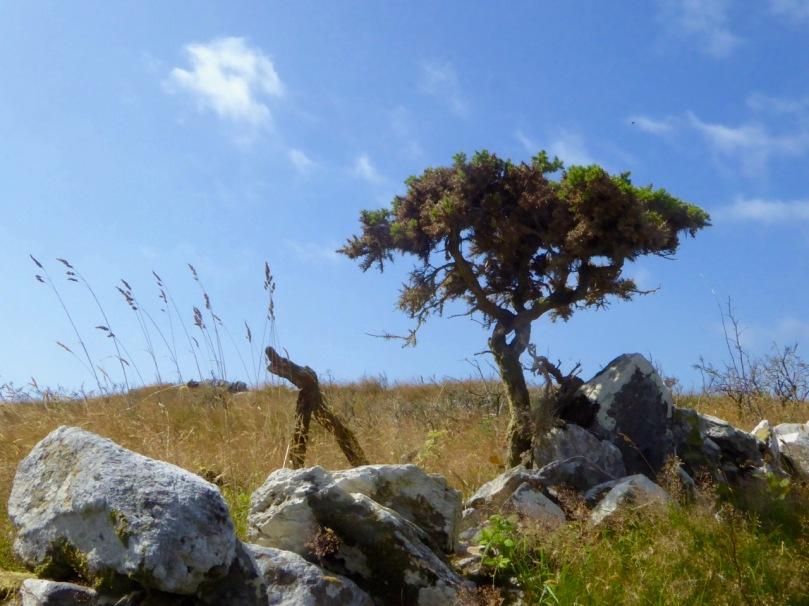 Gorse Tree