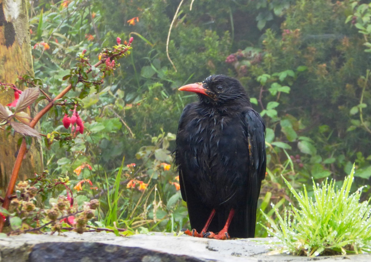 Chough on the post