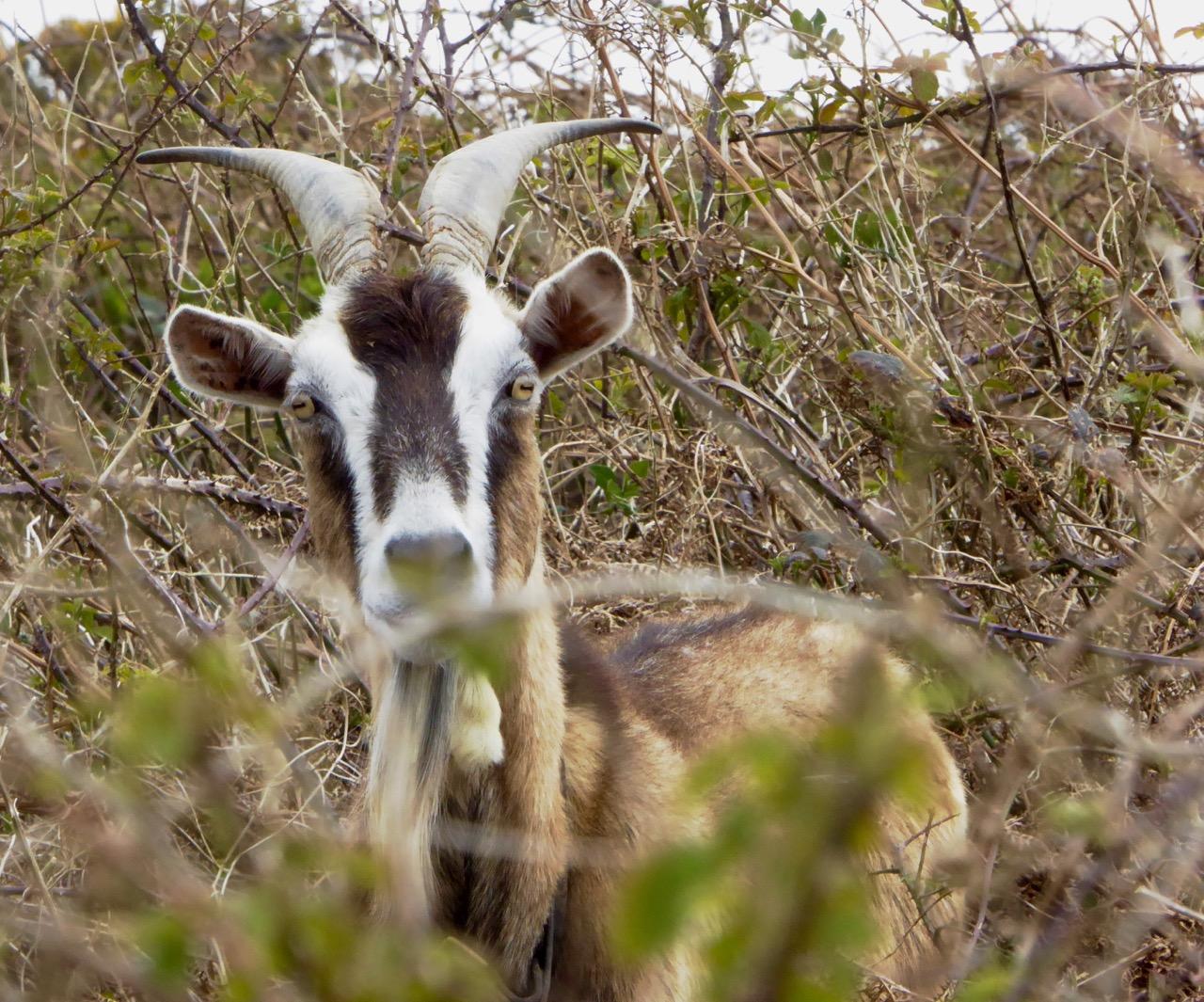 Nick's Goat
