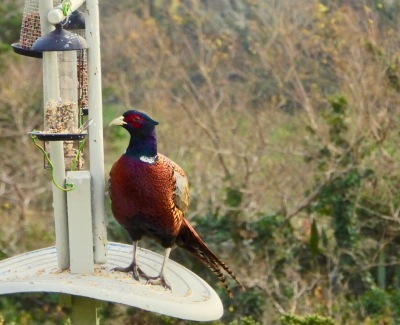 Pheasant on bird feeder