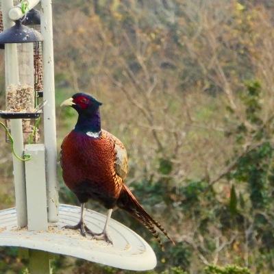 Pheasant on bird feeder