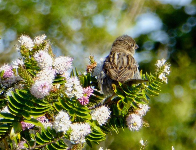 fledging sparrow