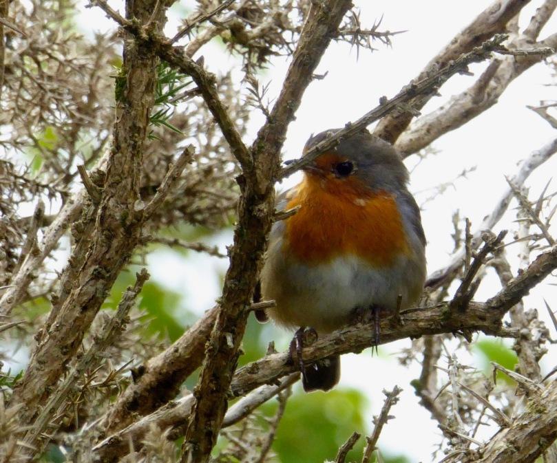 Robin among thorns
