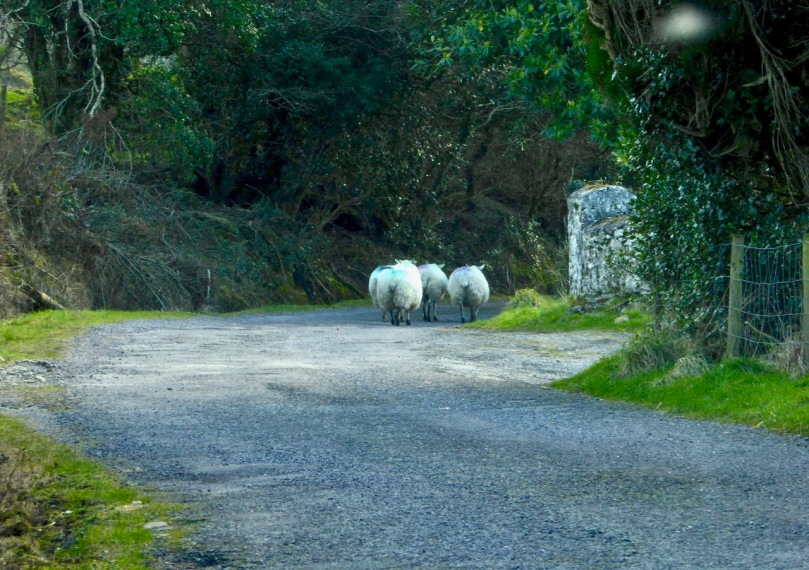 Sheep flock on road