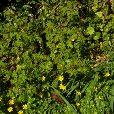 Celandine and Herb Robert