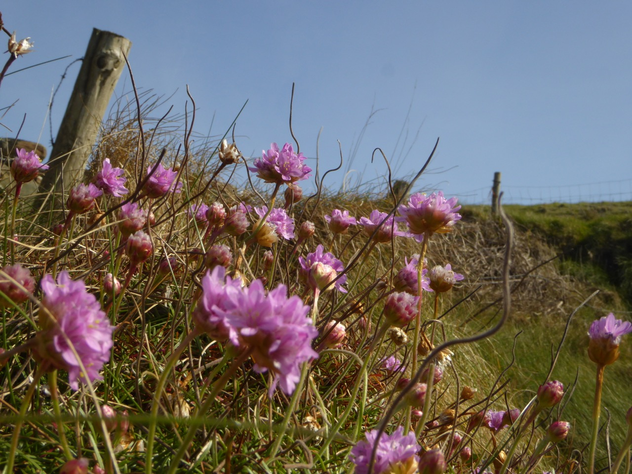 Sea pinks depth of field roaringwater journal sea pinks depth of field mightylinksfo