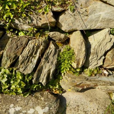 Wall with ivy, pennywort, cornsalad