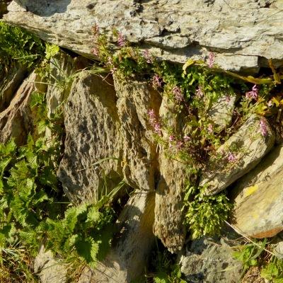 Wall with ramping fumitory, nettles, cornsalad, ferns