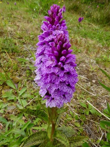 Spotted Orchid but which one?
