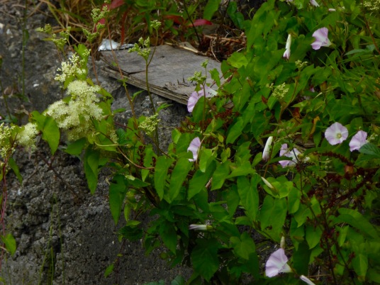 Bindweed and Meadowsweet