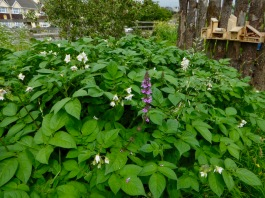 Community Orchard, potato flower and Woundwort