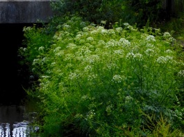 Hemlock Water-dropwort, Caol Stream, Skibbereen