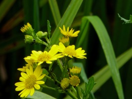 Marsh Ragwort or Ragweed