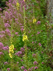 Twiggy Mullein and Red Valerian