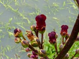 Water Figwort